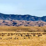 Magnificent elk herd roams freely on the Baca National Wildlife Refuge and Great Sand Dunes National Park along the base of the Sangre de Cristos Mountains